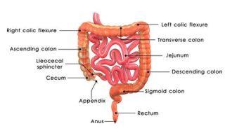 Location of appendix
