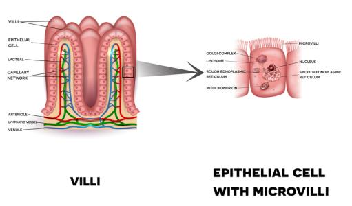 Villi and microvilli in the intestinal barrier