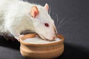 Splenda risks show up in new rodent research