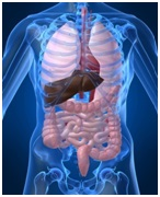 Visceral osteopathy interacts with gut systems