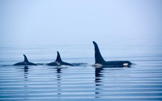 Menopausal Symptoms are the beginnings of the leadership phase for female killer whales